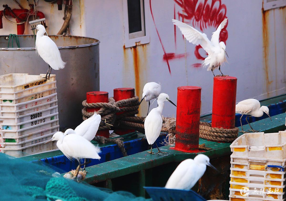 玉环生态美鹭鸟闹渔港