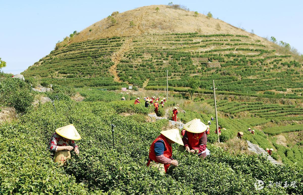 玉环:海岛火山茶开采了